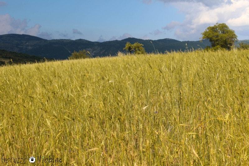 Un campo di solina a Secinaro, L'Aquila, Abruzzo