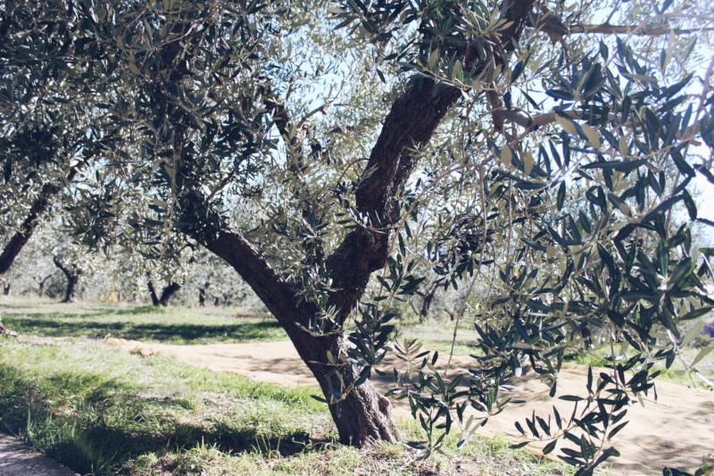 Albero di olivo, varietà leccino abruzzese